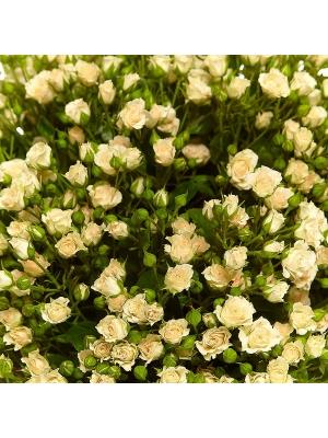 Букет цветов из кремовых кустовых роз №15 (51 шт.) с доставкой.