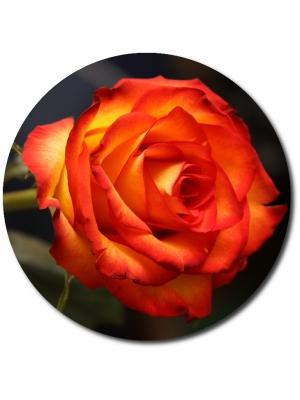 Поштучно красно-желтые розы (экстра класс, 70 сантиметров) с доставкой по Киеву.