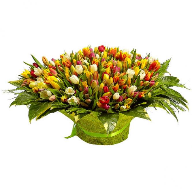 Букет цветов из разноцветных тюльпанов (501 шт.), амбреллы и пестрой аралии №40 с доставкой.