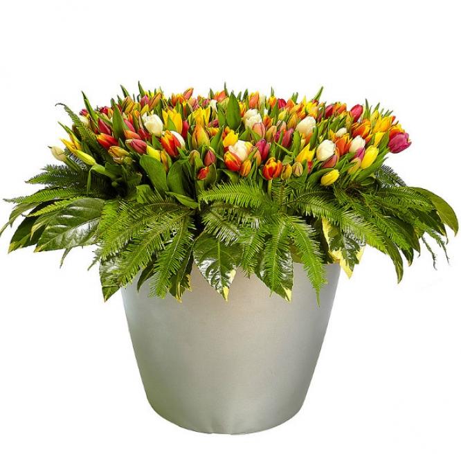 Букет цветов из разноцветных тюльпанов (501 шт.), амбреллы и пестрой аралии №43 с доставкой.