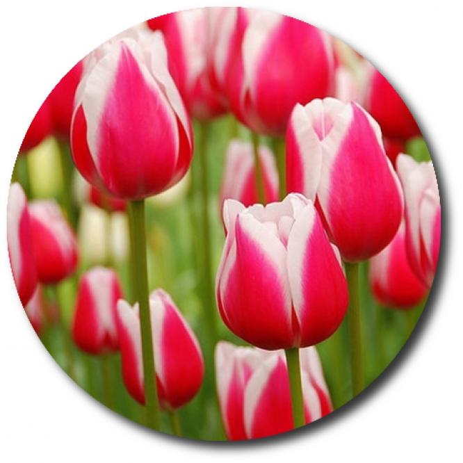 Поштучно красные с белой каемкой тюльпаны с доставкой по Киеву.