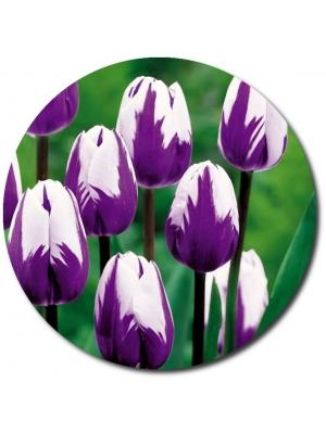 Поштучно бело-фиолетовые тюльпаны с доставкой по Киеву.